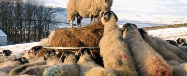 Addicted to Sheep (2015) | DVD release